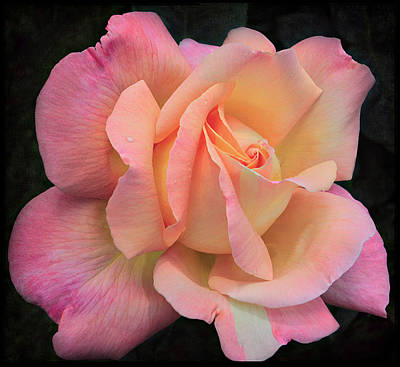 Poster featuring the photograph Pink Petals by Kim Andelkovic