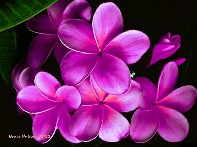 Pink Plumeria Poster by Bruce Nutting