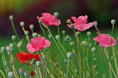 Pink Poppies Poster by Kathy King