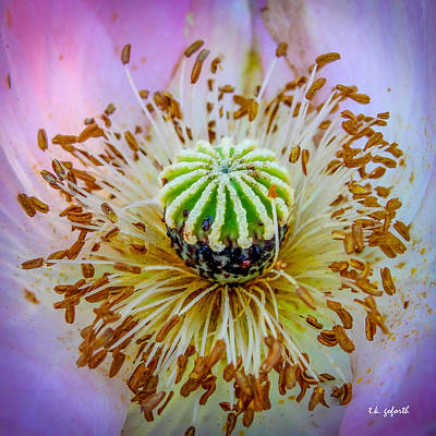 Pink Poppy Squared Poster by TK Goforth