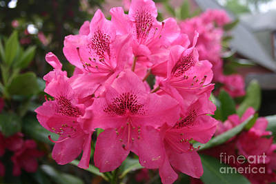 Pink Rhododendron Bloom Poster