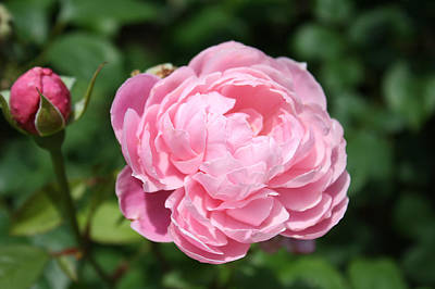Poster featuring the photograph Pink Rose 2 by Ellen Tully