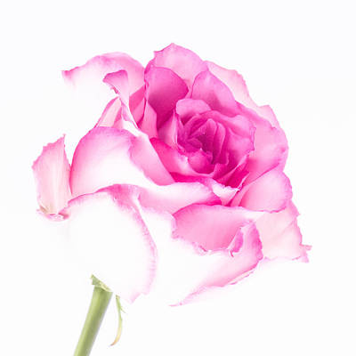 Pink Rose Confection Poster