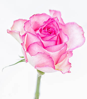 Pink Rose Glory Poster