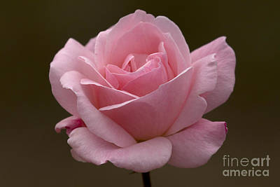 Poster featuring the photograph Pink Rose by Meg Rousher