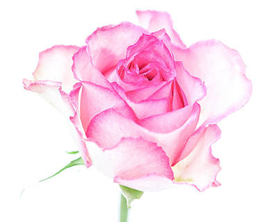 Pink Rose Proud Poster