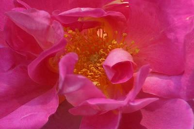 Pink Rose Series 111 Poster