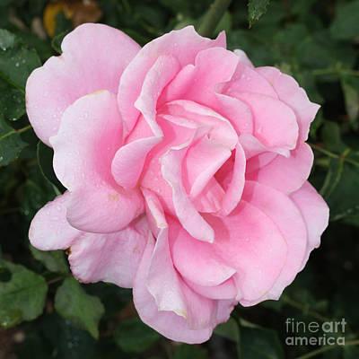Pink Rose Square Poster