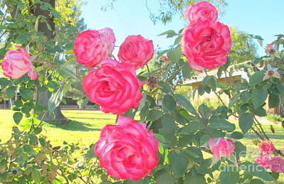 Pink Roses Of Arizona Poster by Michaline  Bak