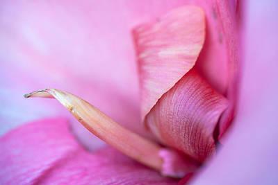 Pink  Poster by Sennie Pierson