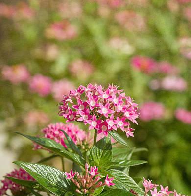 Pink Star Cluster Flower Poster