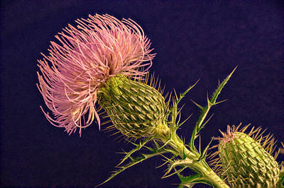 Pink Thistle Blossom And Bud Poster