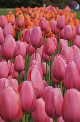 Pink Tulip Impression Poster