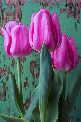 Pink Tulips Against Green Wall Poster