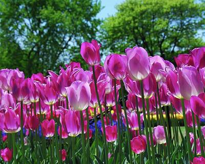 Poster featuring the photograph Pink Tulips by Allen Beatty