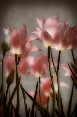Pink Tulips Glow Poster