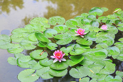 Pink Water Lilies, Lake View Hotel Poster