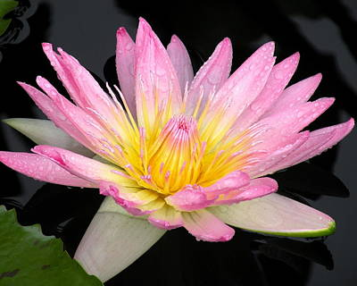Pink Water Lily Poster by Kim Bemis