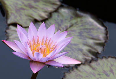 Pink Water Lily At Dusk Poster by Yvonne Wright
