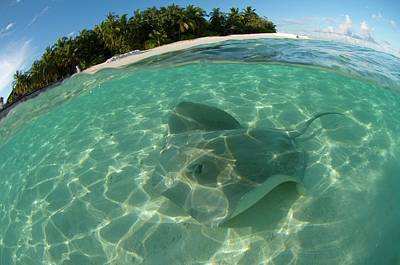 Pink Whipray In Shallow Waters Poster