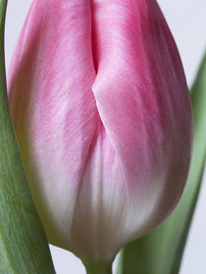 Poster featuring the photograph Close Up Pink White Tulips Flowers Macro Photography Art Work by Artecco Fine Art Photography