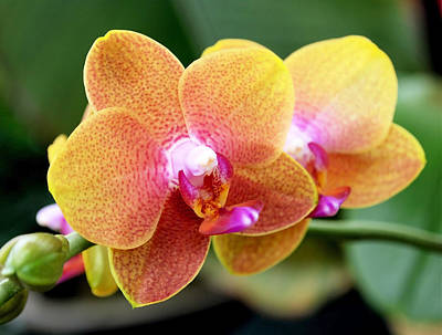 Pink Yellow Orchid Poster