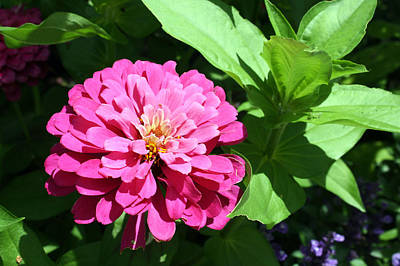 Poster featuring the photograph Pink Zinnia by Ellen Tully