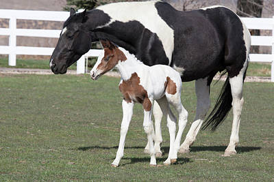 Pinto Oldenburg Warmblood Foal Or Filly Poster by Piperanne Worcester