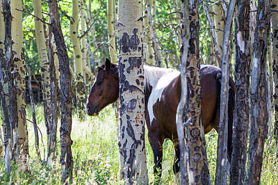Pinto Or Paint Horses In Aspen Trees Poster