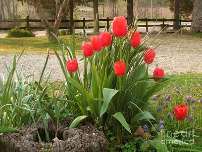 Pipe Organ Red Tulips  Poster