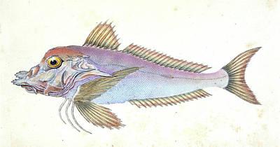 Piper, Trigla Lyra, British Fishes, Donovan Poster by Artokoloro