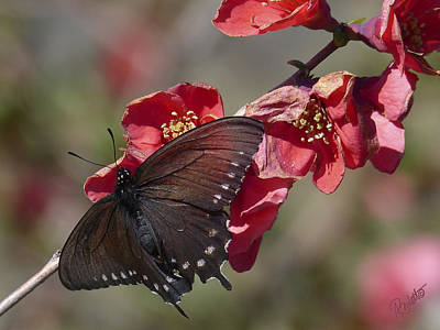 Pipevine Swallowtail And Roses Poster