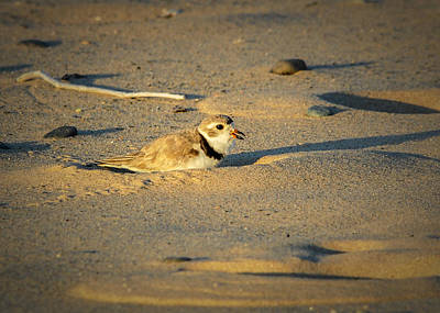 Piping Plover Adult Poster