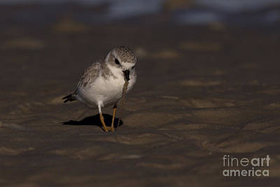 Piping Plover Photo Poster