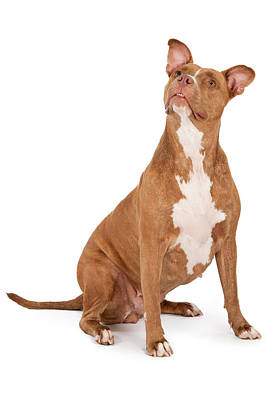 Pit Bull Dog Looking Up Poster by Susan Schmitz