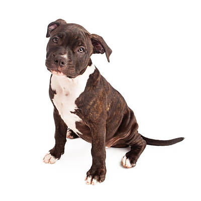 Pit Bull Puppy Black And White Poster