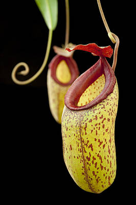 Pitcher Plant And Hybrids Sri Lanka Poster by Ch'ien Lee