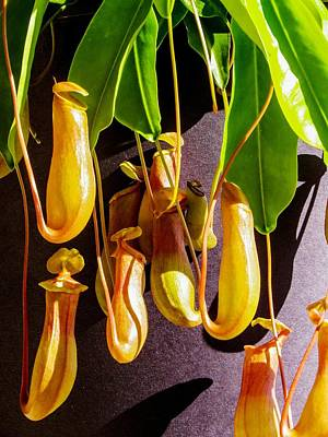 Pitcher Plant Poster by Zina Stromberg