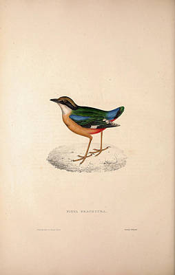 Pitta Brachyura,  Indian Pitta. Birds From The Himalaya Poster