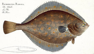 Plaice Plate Xlii From Ichthyologie, Ou Poster by Andreas-Ludwig Kruger