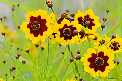 Plains Coreopsis Poster by Walter Herrit