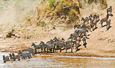 Plains Zebra About To Cross The Mara River Poster by Liz Leyden