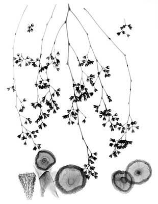 Plant Foliage And Mushrooms Poster by Albert Koetsier X-ray