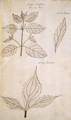 Plant Leaves, 18th Century Poster by Science Photo Library