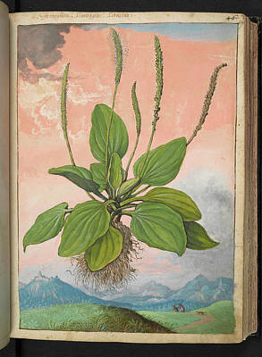 Plantain (plantago Major) Poster by British Library