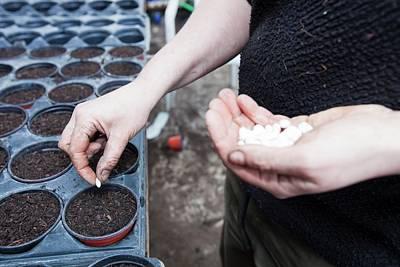 Planting Bean Seeds Poster
