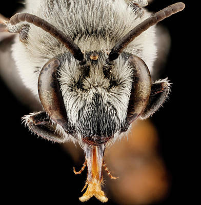 Plasterer Bee Poster by Us Geological Survey