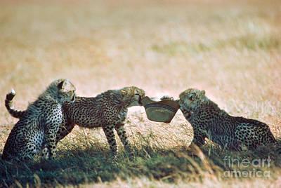 Playful Cheetah Cubs Acinonyx Jubatus Poster by Gregory G. Dimijian, M.D.