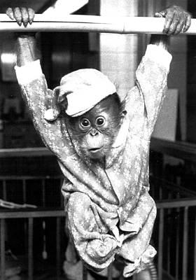 Playful Orangutan Poster
