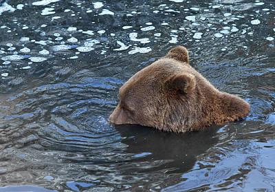 Playful Submerged Bear Poster